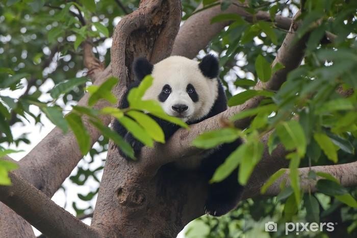 Fototapeta winylowa Giant Panda Bear w drzewo (patrząc na kamery) - Tematy