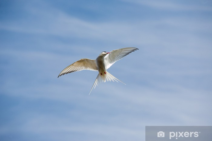 Arctic tern flying Vinyl Wall Mural - Birds