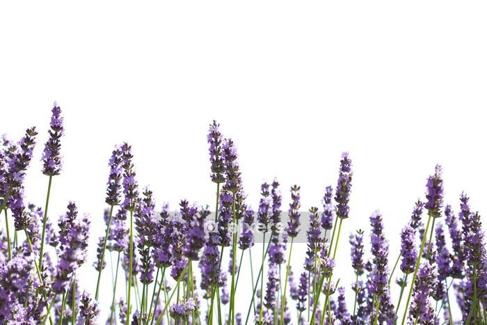 Muursticker Paarse lavendel bloemen - Kruiden