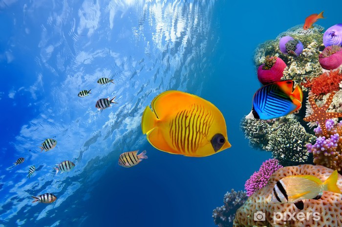 Masked butterfly fish (Chaetodon semilarvatus), Red Sea, Egypt Self-Adhesive Wall Mural - Themes