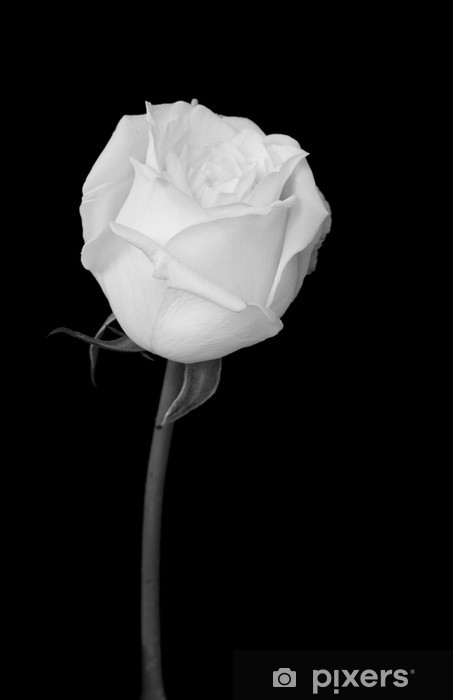 Fototapet av Vinyl Vit ros - Blommor