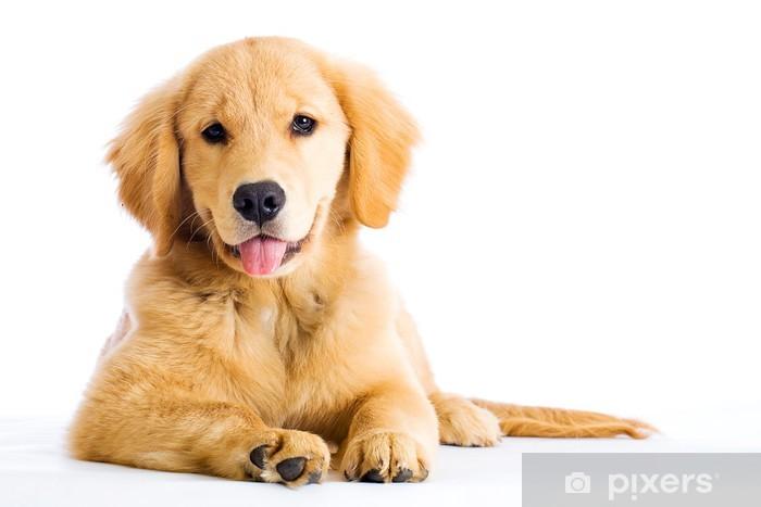 34 hunde bilder golden retriever  besten bilder von