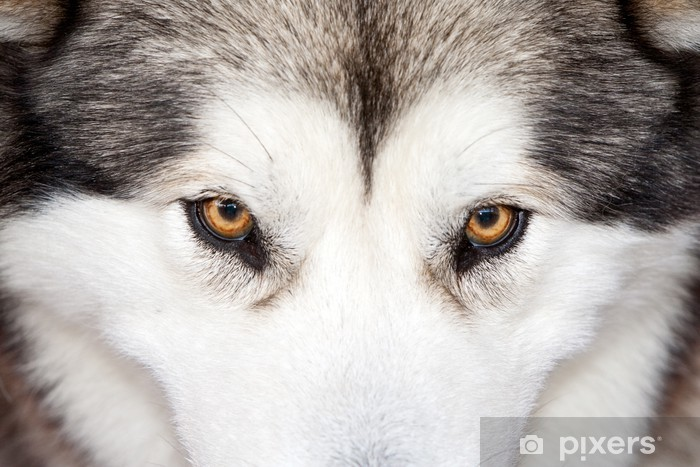 Pixerstick Aufkleber Mit Blick auf ein Husky - Husky