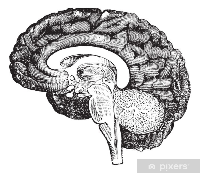 Vertical section of side view of a human brain vintage engraving Vinyl Wall Mural - Health and Medicine