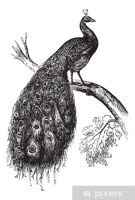 Fototapeta winylowa Indian Peafowl lub Blue paw lub Pavo cristatus, vintage engrav - Naklejki na ścianę