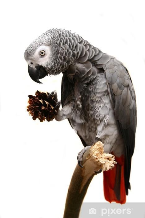 Fototapeta winylowa Żako samodzielnie na białym tle - Ptaki