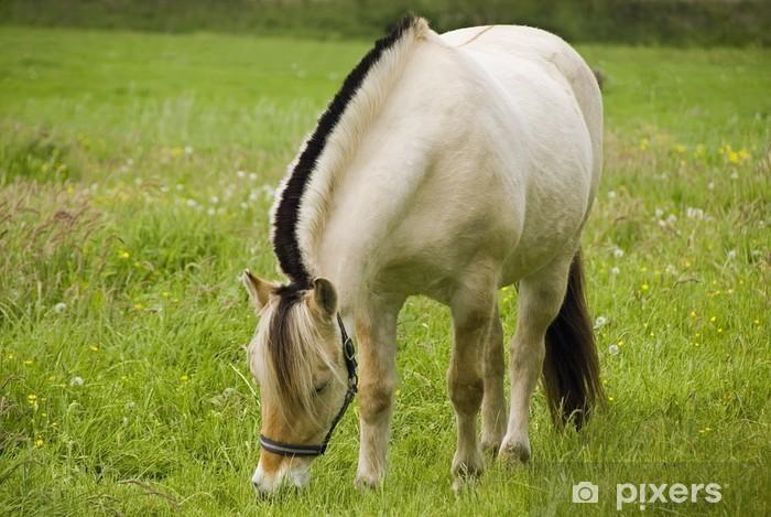 norweger pferd