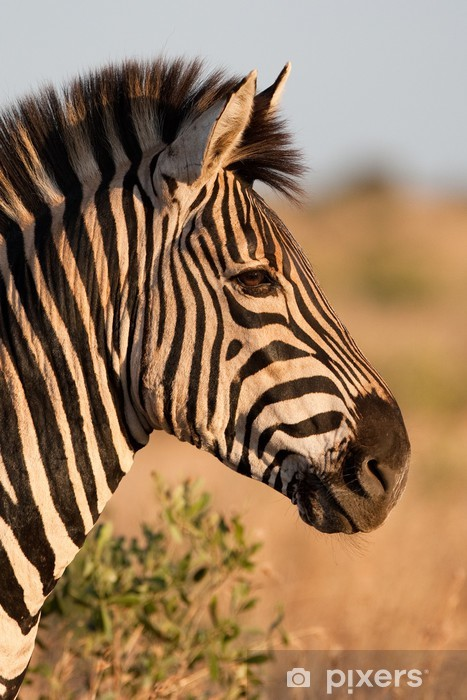 A zebra portrait in golden light Pixerstick Sticker - Themes