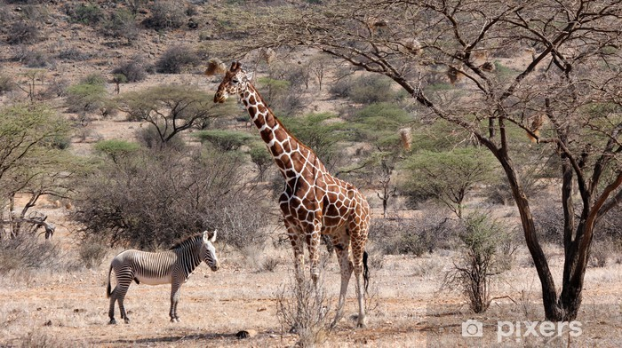 Papier peint vinyle Zèbre de Grévy et girafe réticulée, le nord du Kenya - Thèmes