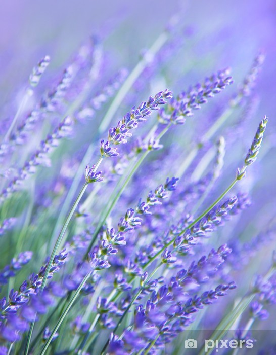 Fototapeta winylowa Lavender kwiat pola - Tematy