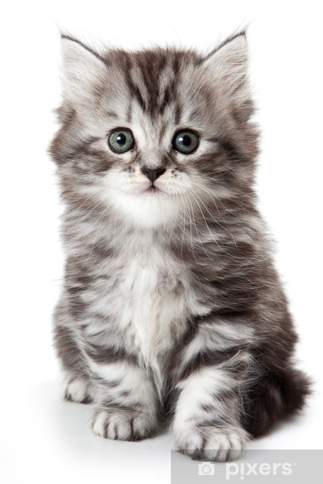 Vinyl Fotobehang Grijze kitten geà ¯ soleerd op wit - Zoogdieren