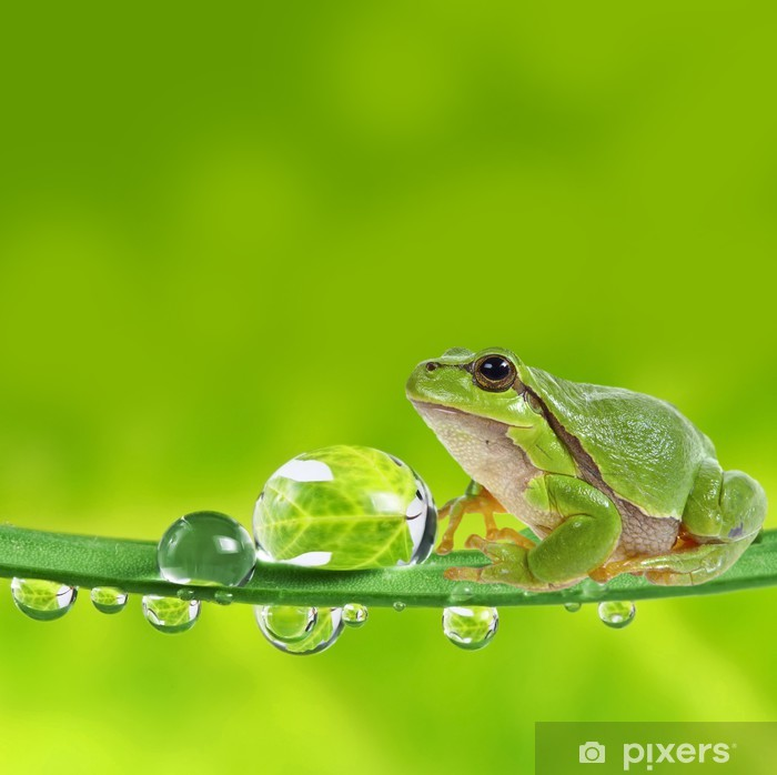 tree frog on leaf with dew drops Poster - Frogs