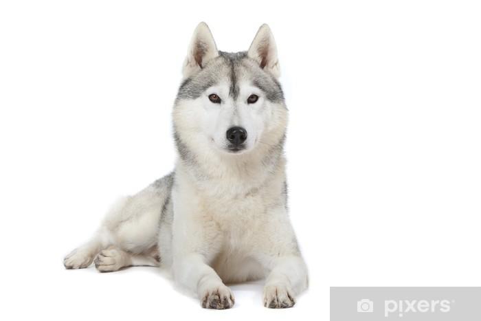 Fierté Du Siberian Husky Sticker Pixerstick