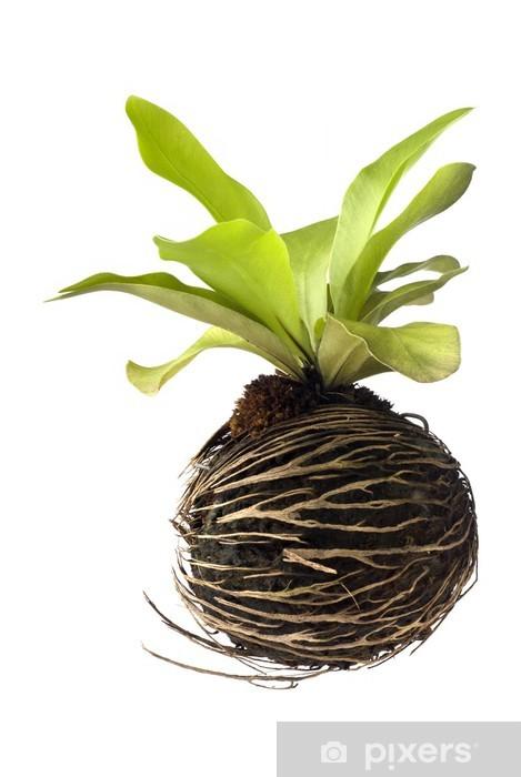 Naklejka Pixerstick Ptasie gniazdo paproci - Rośliny