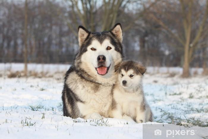 Naklejka Pixerstick Alaskan malamute i jej dziecko na śniegu - Psy