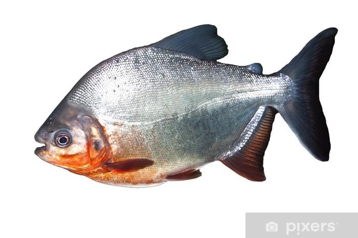 Fototapeta winylowa Pirania - Zwierzęta żyjące pod wodą