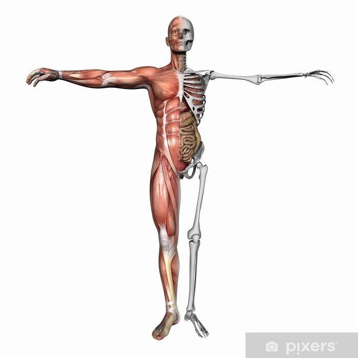 Anatomi Kaslar Ve Iskelet Duvar Resmi Pixers Haydi Dünyanızı