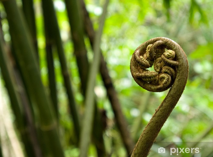 Pixerstick Aufkleber Close-up von fiddlehead Farn im Regenwald von Tahiti - Pflanzen