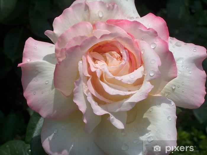 Naklejka Pixerstick Gloria Dei, szlachetny róży z kroplami deszczu - Kwiaty