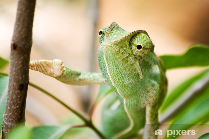 Green Chameleon in Namibia Pixerstick Sticker - Themes