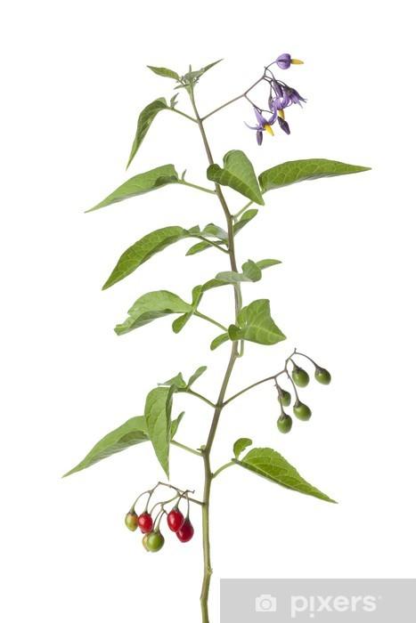 Vinyl-Fototapete Bittersweet Pflanze mit Blüten und Beeren - Pflanzen