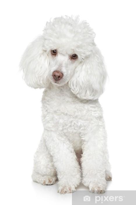 Fototapeta winylowa Biały Toy Pudel na białym tle -