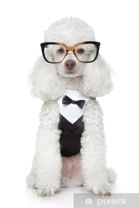 Fototapeta winylowa Funny Toy Pudel w smokingu i okulary - Ssaki