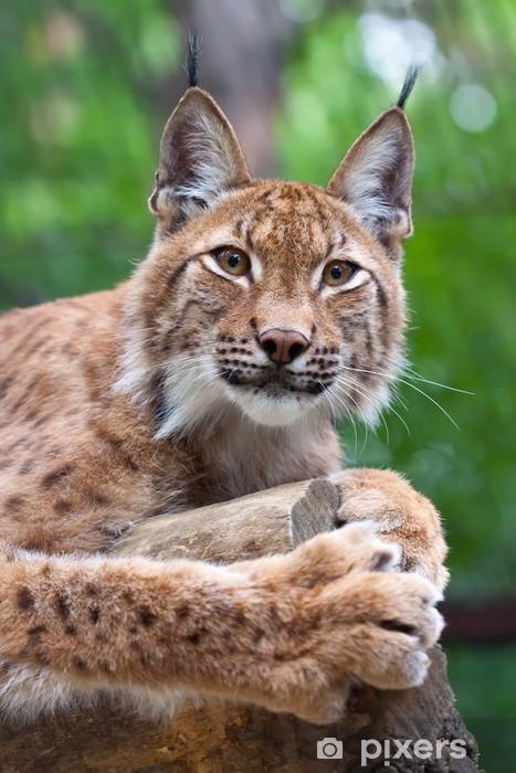 Fototapeta winylowa Lynx przeciwko strefie dzikości - Ssaki