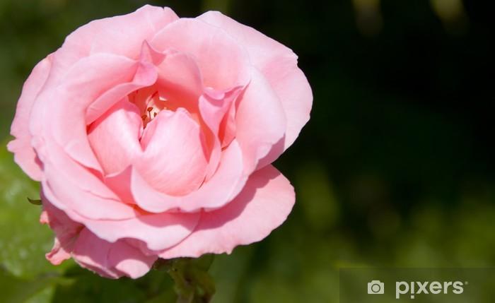 Vinylová fototapeta Růžové růže (kvést pupenu) s dim zadní pozadí - Vinylová fototapeta