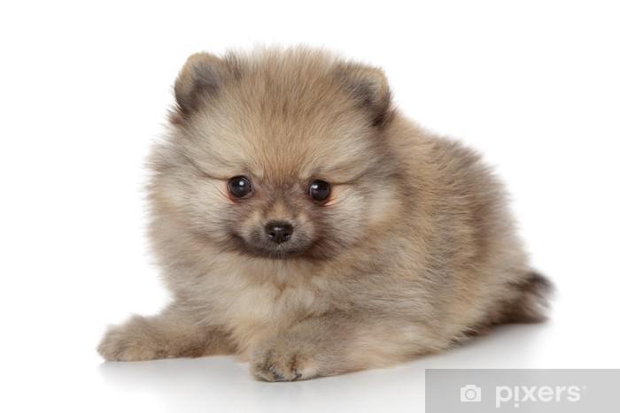 Fototapete Pomeranian Spitz Welpen Pixers 174 Wir Leben