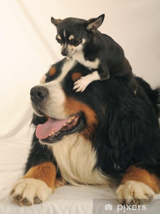 Naklejka Pixerstick Berneński pies pasterski jest Chihuahua. - Ssaki