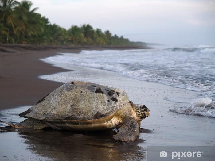 Fototapeta winylowa Żółw morski w Tortuguero Park Narodowy, Kostaryka - Ameryka