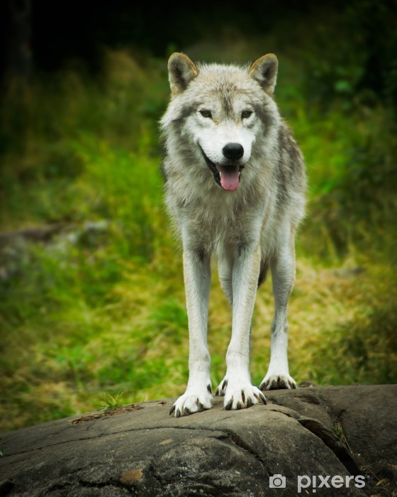 Fotomural Estándar Wild, Oriental Timber lobo gris en el hábitat natural - Temas