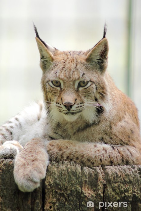 Fototapeta winylowa Northern Lynx - Ssaki