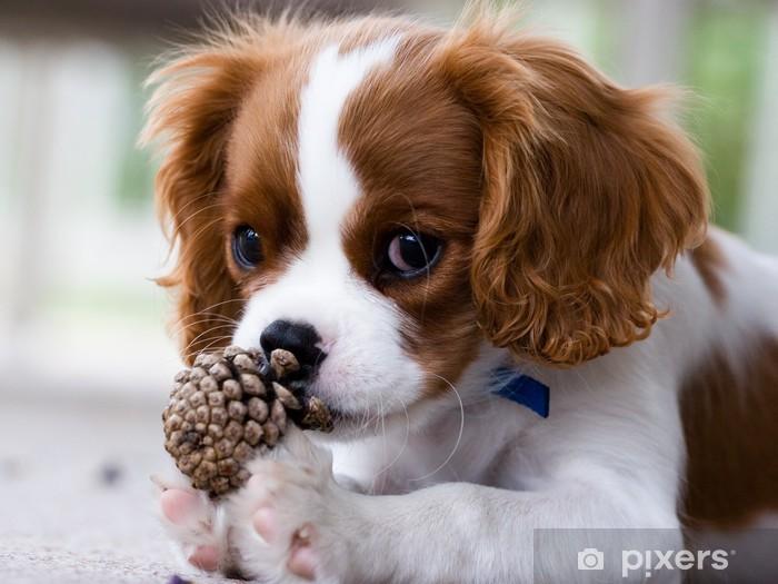 Naklejka Pixerstick Cavalier King Charles Spaniel puppy - Tematy