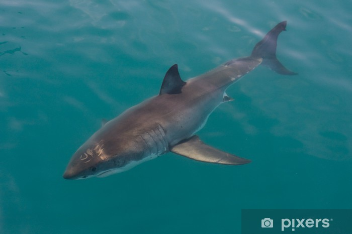 Pixerstick Aufkleber White Shark - Afrika
