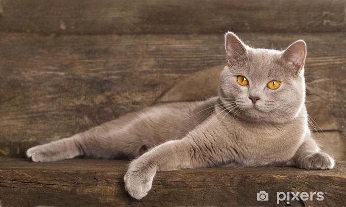 Fototapeta Kot Brytyjski Rzadko Kolor Liliowy Pixers żyjemy