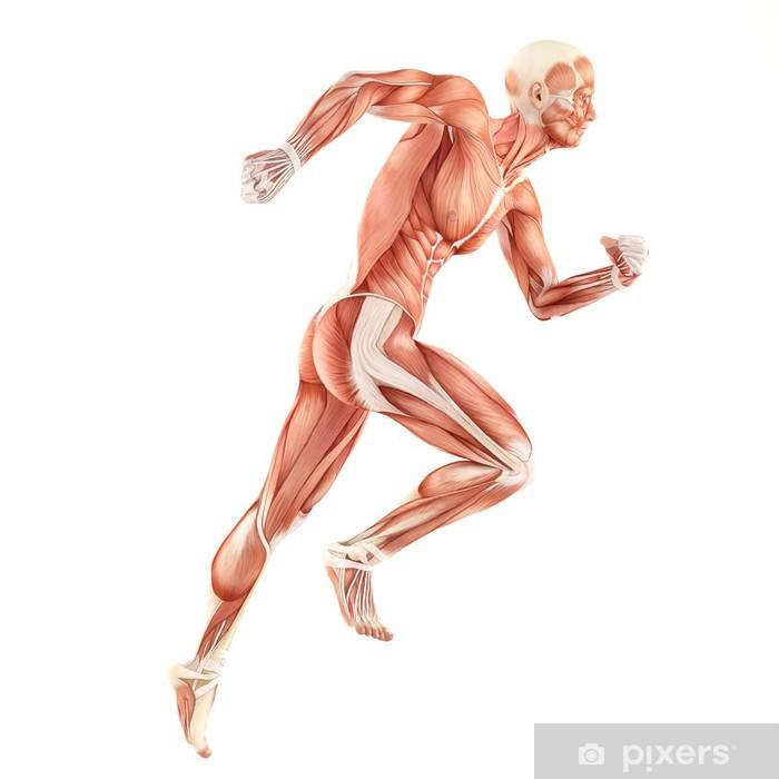 Vinyl Fotobehang Running man spieren anatomie systeem geïsoleerd op witte achtergrond - Gezondheid en Geneeskunde