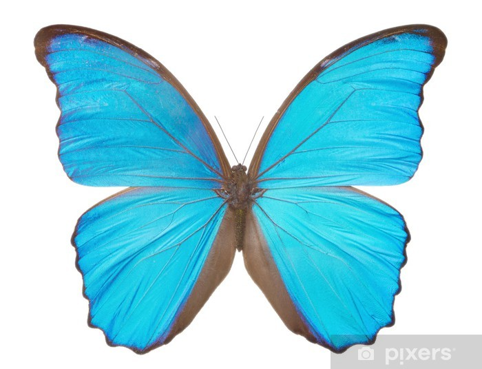 Morpho Butterfly Morpho Didius Wall Mural Pixers We Live To Change