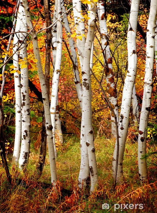 Fall Birch Trees Vinyl Wall Mural - Themes