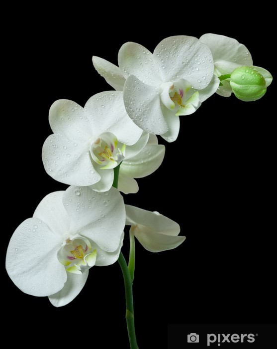 Papier peint vinyle Orchidée blanche sur fond noir - Thèmes