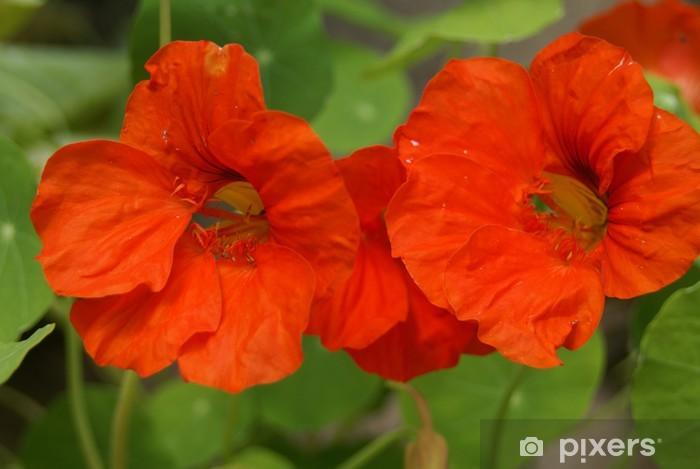 Nálepka Pixerstick Nasturtium - Květiny
