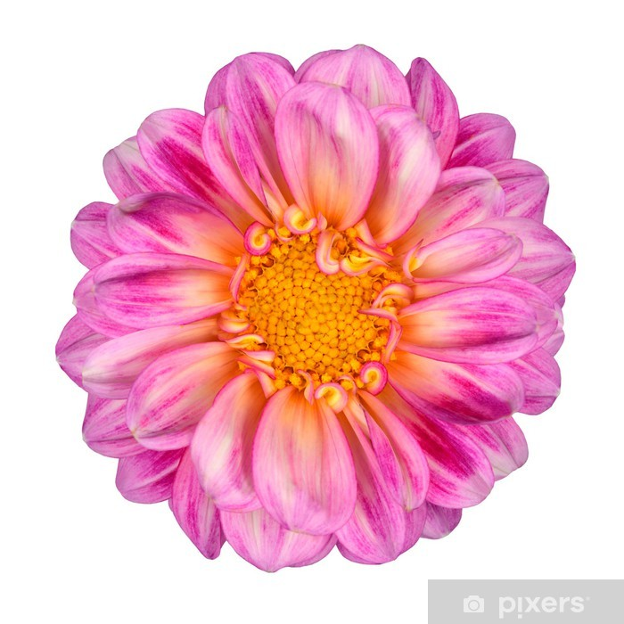 Pink White Dahlia Flower With Yellow Center Isolated Sticker