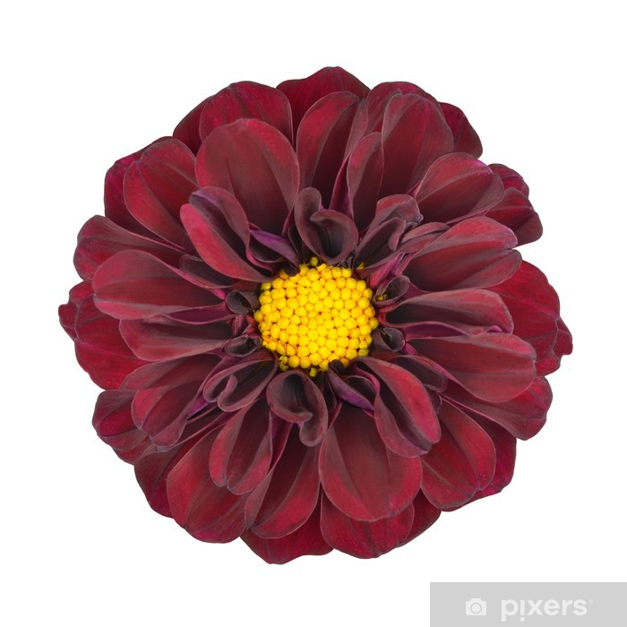 Red Dahlia Flower With Yellow Center Isolated Wall Mural Pixers