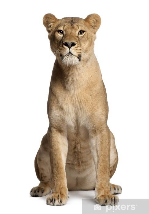 Vinyl-Fototapete Löwin, Panthera leo, 3 Jahre alt, sitzt - Säugetiere