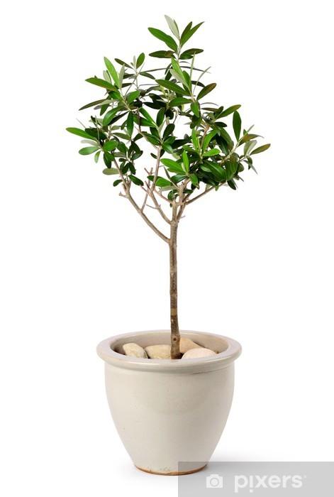 Lieblings Fototapete Junge Olivenbaum im Topf • Pixers® - Wir leben, um zu @CY_98