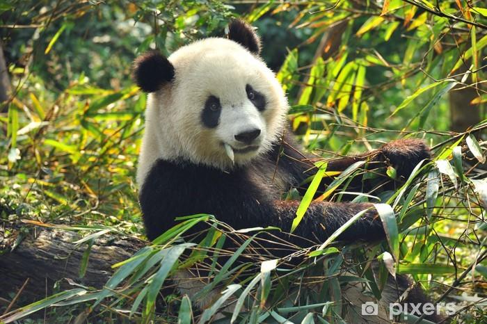Fototapeta winylowa Głodny panda bear jedzenia bambusa - Zwierzęta