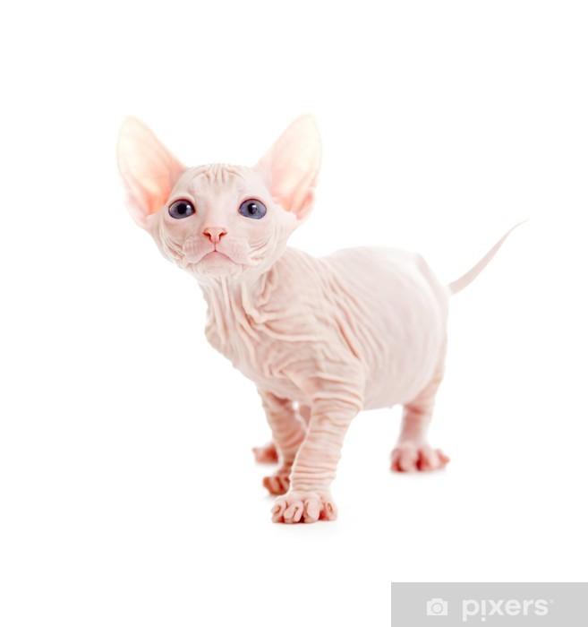 Fototapeta winylowa Funny bezwłosy sfinks kitten wyizolowanych - Ssaki