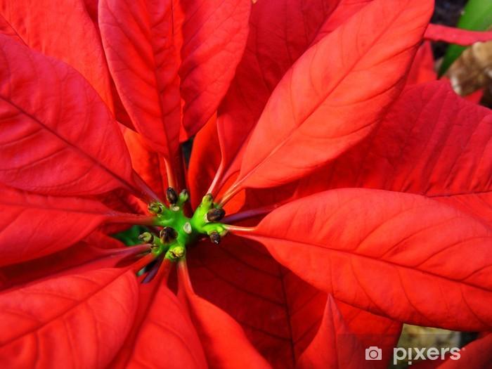 Stella Di Natale Fiore.Fiore Stella Di Natale Primo Piano Poinsettia Christmas Flower Wall Mural Vinyl