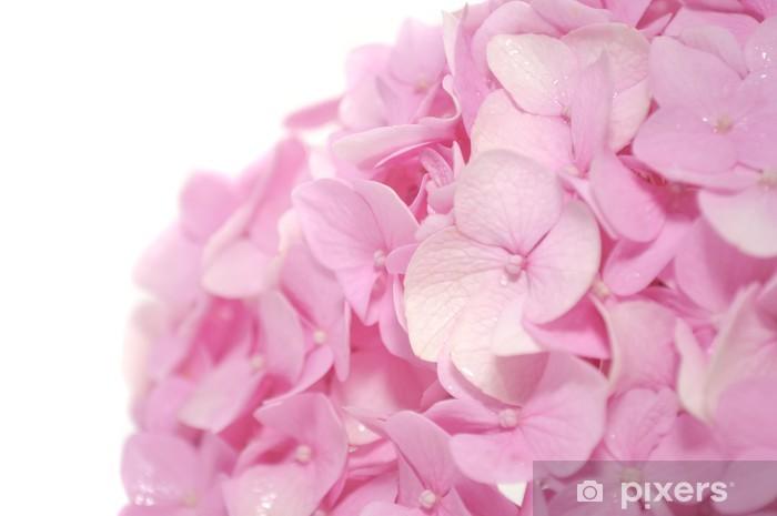 Pixerstick Sticker Mooie Roze Hydrangea bloemen op witte achtergrond - Bloemen